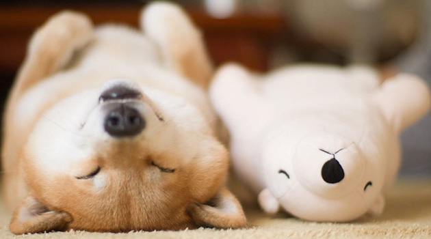 Cute Shiba Inu Keeps Falling Asleep In Same Position As His Favorite Plush Toy
